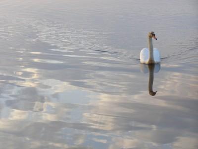 Swan in Sky