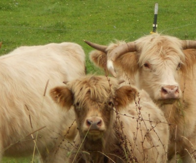 Cattle midddle