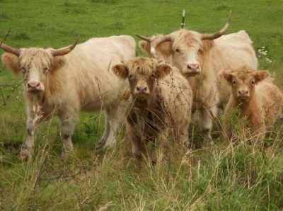LongHorn Cattle2